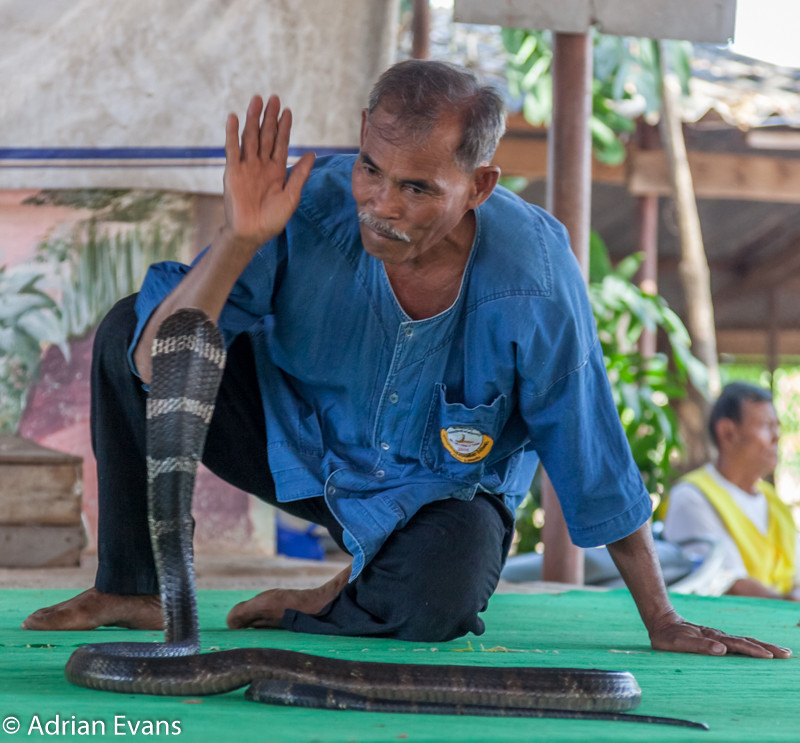 high five with a deadly king cobra